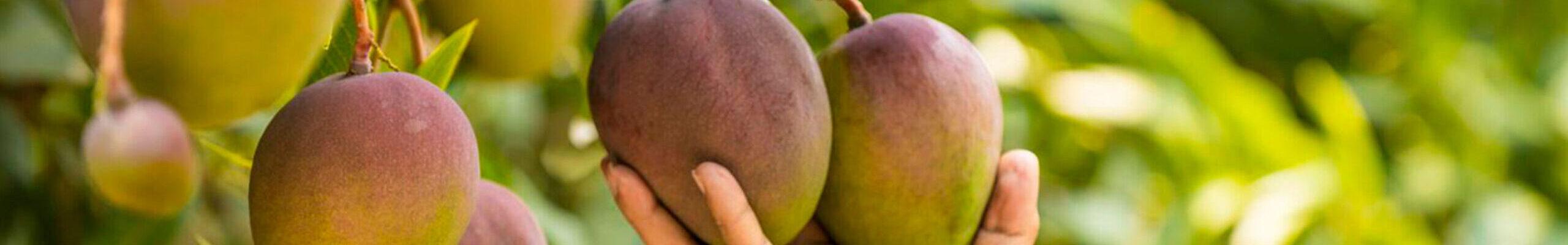 Ayco Mango